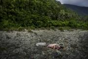 SURIGAO, MINDANAO- JUNE, 2017: Le cochon qui sera offert aux dieux. Craignant de se faire chassés par une exploitation minière, les Lumads qui sont animistes font une cérémonie au cours de laquelle ils sacrifient un cochon. Le prêtre implore les dieux d'éloigner les exploitations minières pour qu'ils puissent rester sur leur terres ancestrales et continuer de vivre avec la nature.  The pig, offering to the Gods. Fearing to be kicked out by a mining exploitation, the Lumad who are animist are making a ceremony, scarificing a pig. The priest is asking the gods to keep away the mining exploitation so they can stay in their ancestral forest. (Picture by Veronique de Viguerie/Reportage by Getty Images)